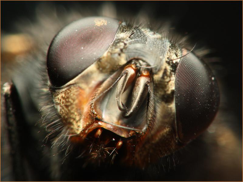 3279322_largeмясная муха