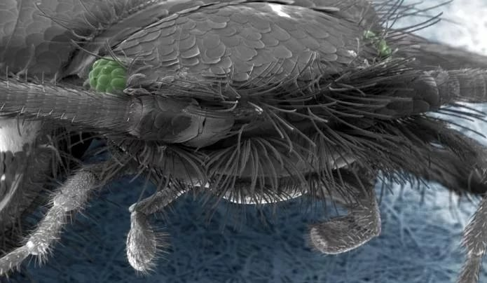 Сахарная чешуйница – древнее насекомое, живущее в домах