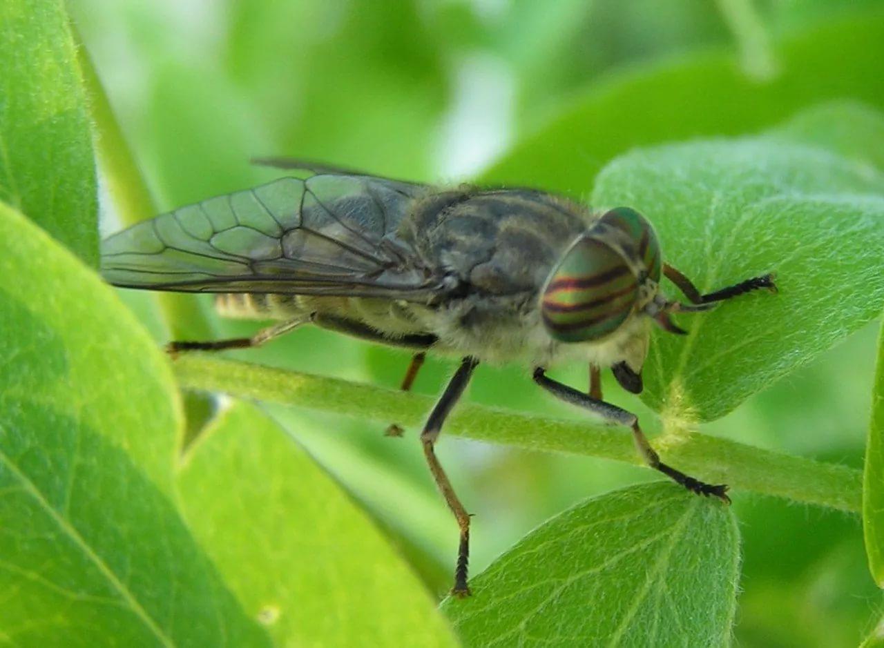 Овод — насекомое паразит