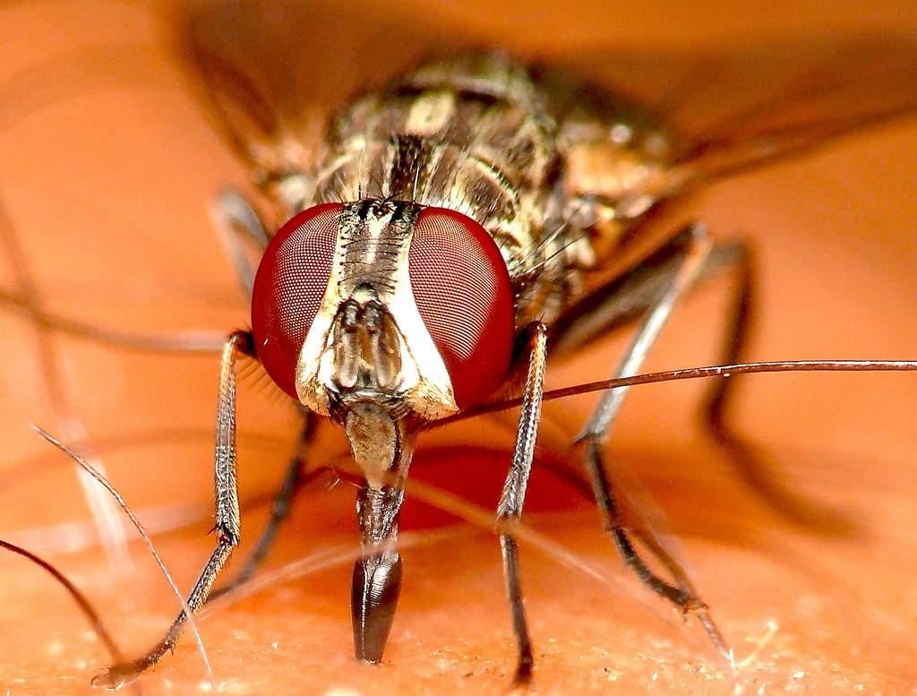 Кусающая муха жигалка осенняя
